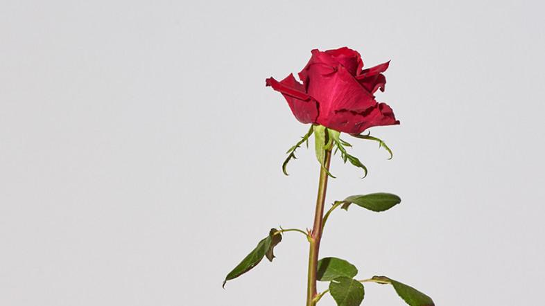 Bild einer Rose in einem Messglas. Teil der Ausstellung Joseph Beuys - Kunst für alle.